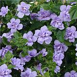 Бакопа Scopia Double Lavender, фото 2