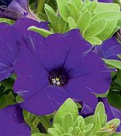 Петуния вегетативная Fanfare Dark Blue подрощенное растение в кашпо или горшке от 3,5 л