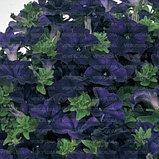 Петуния вегетативная Fanfare Dark Blue  подрощенное растение в кашпо или горшке от 3,5 л, фото 2