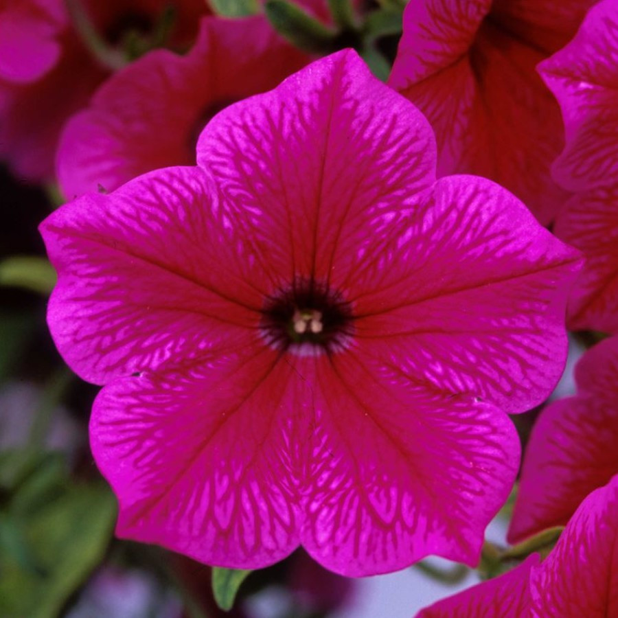 Петуния вегетативная Fanfare Hot Rose  подрощенное растение