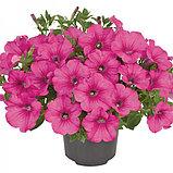 Петуния вегетативная Fanfare Hot Rose  подрощенное растение, фото 2