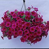 Петуния вегетативная Fanfare Hot Rose  подрощенное растение, фото 4