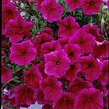 Петуния вегетативная Fanfare Hot Rose  подрощенное растение, фото 3