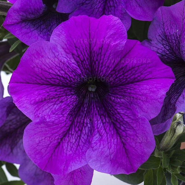 Петуния вегетативная Titan Giant Lavender  подрощенное растение в кашпо или горшке от 3,5 л