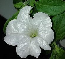 Петуния вегетативная Fanfare White подрощенное растение