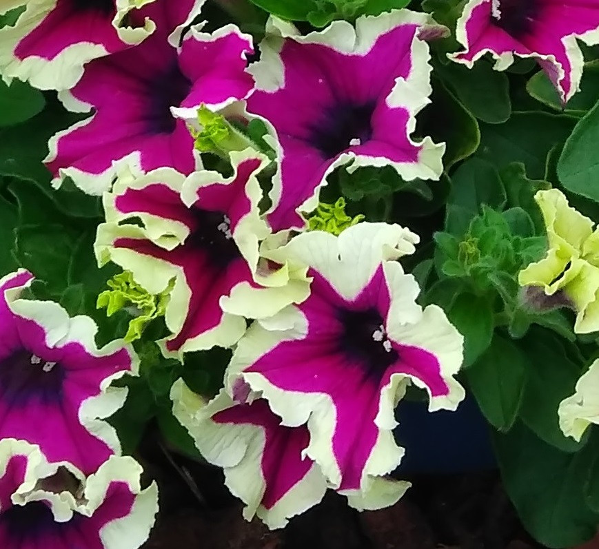 Петуния вегетативная Fanfare  Eclipse подрощенное растение