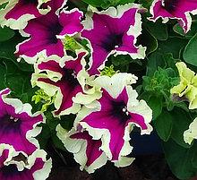 Петуния вегетативная Fanfare  Eclipse подрощенное растение  в кашпо или горшке от 3,5 л