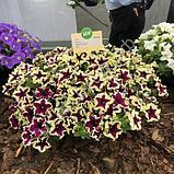 Петуния вегетативная Fanfare  Eclipse подрощенное растение, фото 2