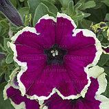 Петуния вегетативная Fanfare  Eclipse подрощенное растение, фото 3