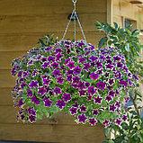 Петуния вегетативная Fanfare  Eclipse подрощенное растение, фото 4