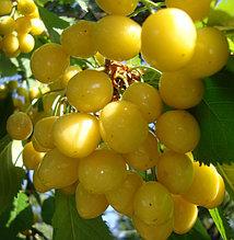 Саженцы черешни желтой