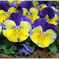 Семена цветов Виола виттрока Матрикс Морфеус 1000 шт