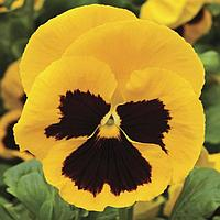 Семена цветов Виола виттрока Матрикс Еллоу Блотч 1000 шт