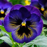 Семена цветов Виола виттрока Матрикс Миднайт Глоу 1000 шт