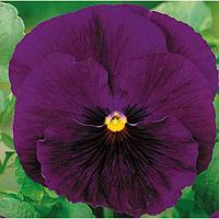 Семена цветов Виола виттрока Матрикс Пурпл 1000 шт