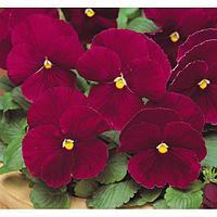 Семена цветов Виола виттрока Матрикс Роуз 1000 шт