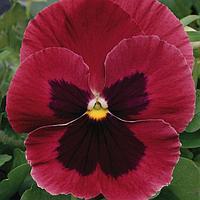 Семена цветов Виола виттрока Матрикс Роуз Блотч 1000 шт