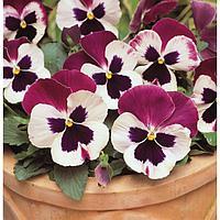 Семена цветов Виола виттрока Матрикс Роуз Винг 1000 шт