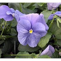 Семена цветов Виола виттрока Матрикс Тру Блю 1000 шт