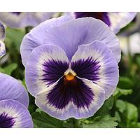 Семена цветов Виола виттрока Спринг Матрикс Блю Винг 1000 шт
