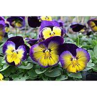 Семена цветов Виола виттрока Спринг Матрикс Миднайт Глоу 1000 шт