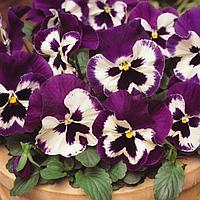 Семена цветов Виола виттрока Спринг Матрикс Пурпл Вайт 1000 шт