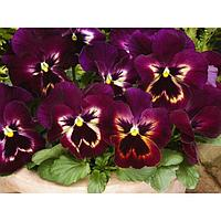 Семена цветов Виола виттрока Спринг Матрикс Сангрия 1000 шт