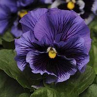 Семена цветов Виола виттрока Фризл Сизл Блю 1000 шт