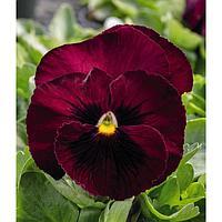 Семена цветов Виола виттрока Фризл Сизл Бургунди 1000 шт