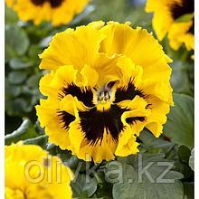 Семена цветов Виола виттрока Фризл Сизл Еллоу 1000 шт