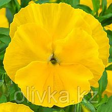 Семена цветов Виола виттрока Экстрада Пюр Еллоу 1000 шт