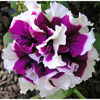 Семена цветов Петуния махровая крупноцветковая Пируэт Пурпл 1000 шт