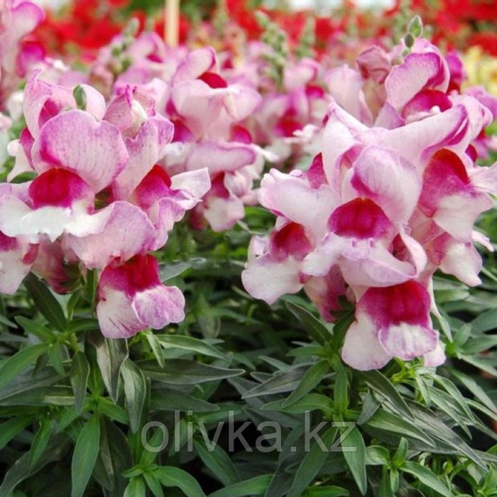 Семена цветов Антирринум Снеппи Орхид Флейм 1000 шт
