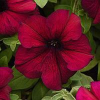 Семена цветов Петуния крупноцветковая Суперкаскад Бургунди 1000 шт