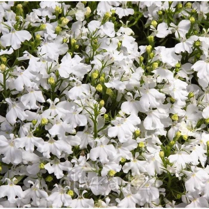 Семена цветов Лобелия Ривьера Вайт 1000 шт
