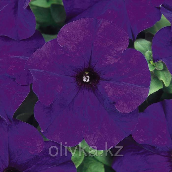 Семена цветов Петуния Дримс Миднайт 1000 шт