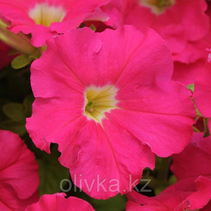 Семена цветов Петуния Дримс Роуз 1000 шт