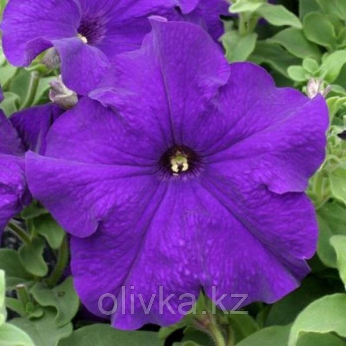 Семена цветов Петуния крупноцветковая Призма Блю 1000 шт