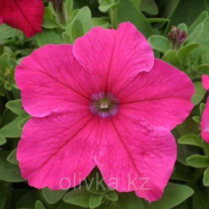 Семена цветов Петуния крупноцветковая Призма Брайт Роуз 1000 шт