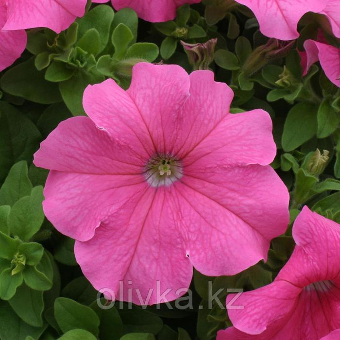 Семена цветов Петуния крупноцветковая Призма Пинк 1000 шт