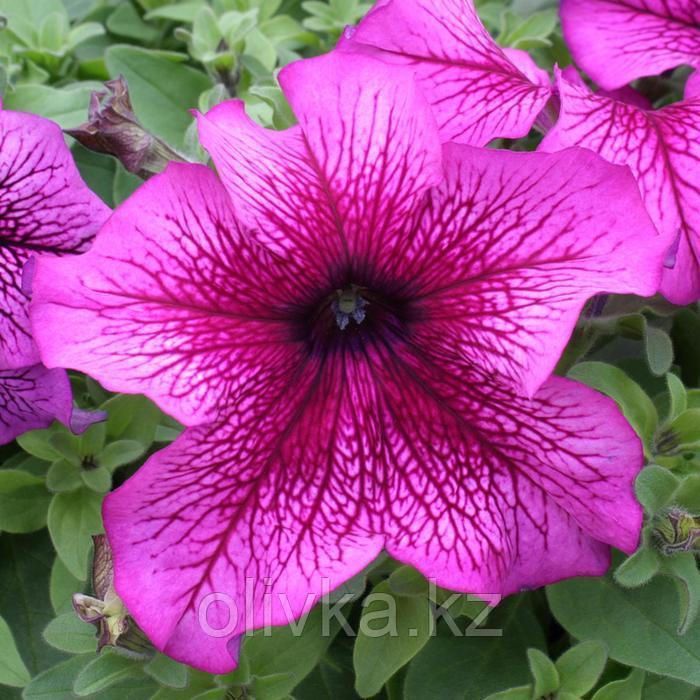Семена цветов Петуния крупноцветковая Призма Плам Сандей 1000 шт