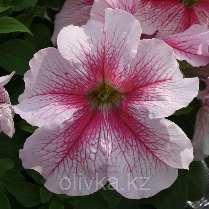 Семена цветов Петуния крупноцветковая Призма Распберри Сандей 1000 шт