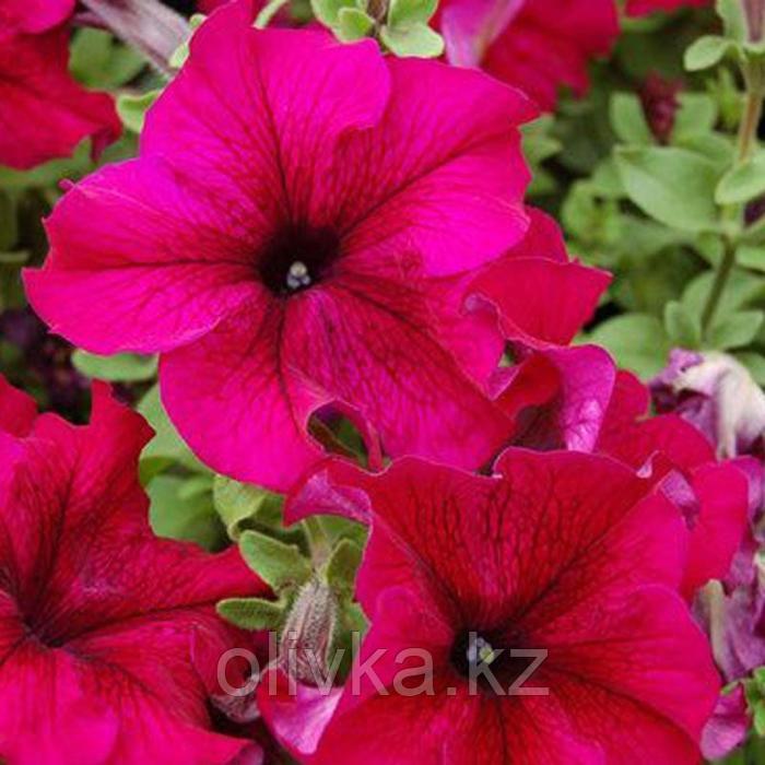 Семена цветов Петуния крупноцветковая Призма Руби 1000 шт