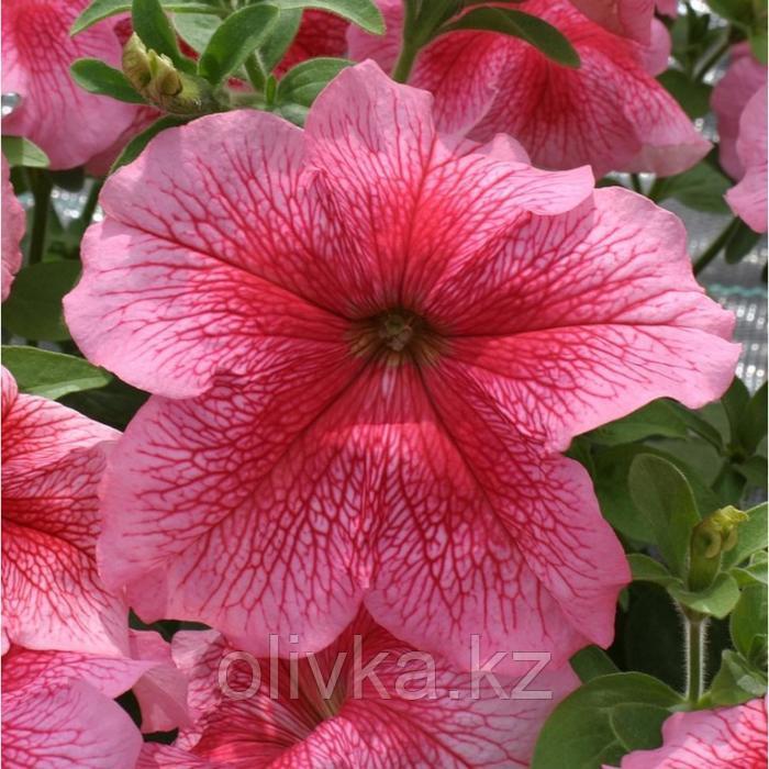 Семена цветов Петуния крупноцветковая Призма Строберри Сандей 1000 шт
