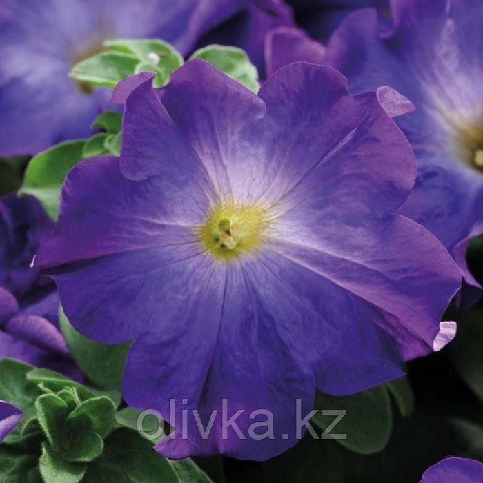 Семена цветов Петуния крупноцветковая Софистика Блю Морн 100 шт