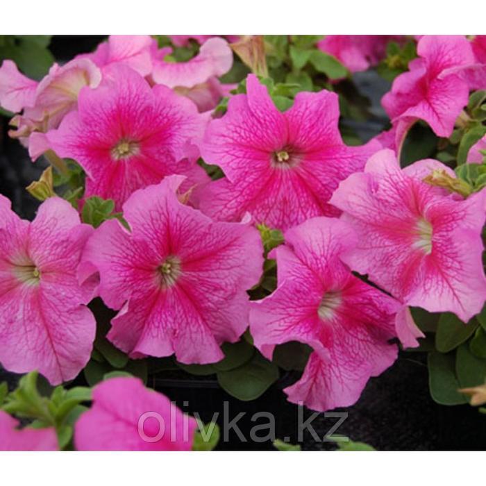 Семена цветов Петуния крупноцветковая Танго Пинк 1000 шт