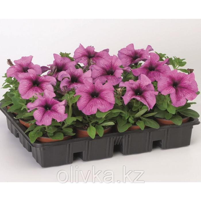 Семена цветов Петуния крупноцветковая Танго Плам 1000 шт