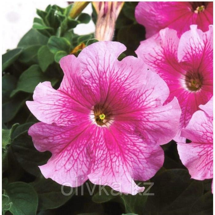 Семена цветов Петуния крупноцветковая Танго Роуз 1000 шт