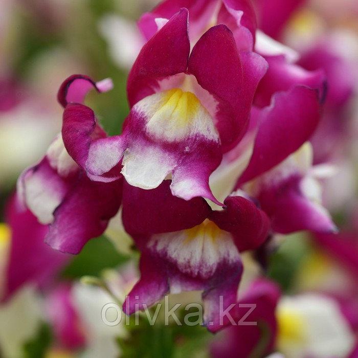 Семена цветов Антирринум Снэпшот Бургунди Биколор 1000 шт