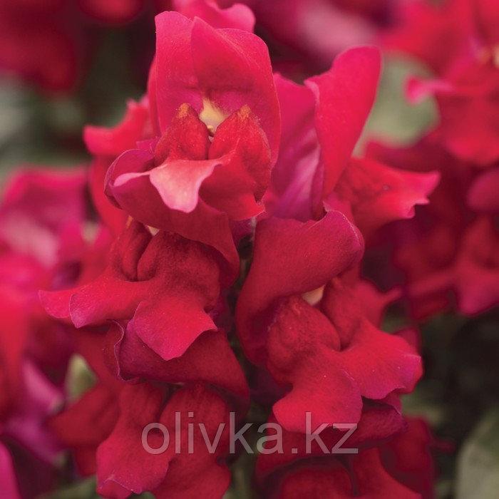 Семена цветов Антирринум Снэпшот Ред 1000 шт
